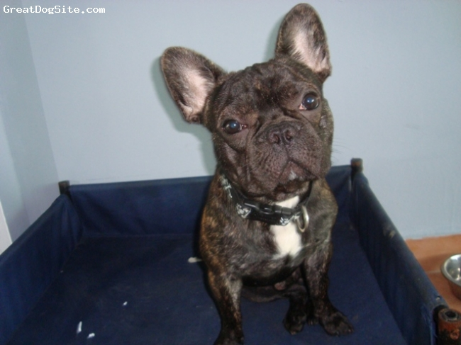 French Bulldog, 10 months, Brown, Looking at me..
