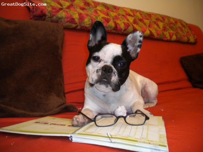 French Bulldog, 7 months, Black & White, One off the bucket list!  My fab new boy Mookie, is studying hard!!