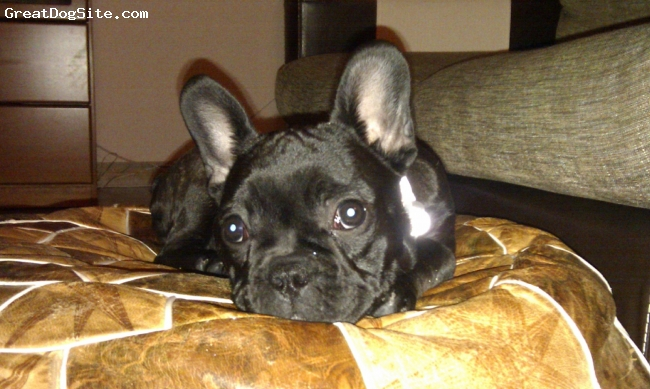 French Bulldog, 6 months, black, when she was 4 monhs old (bright eyes)
