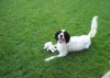 French Spaniel, 2.5, white / black markings