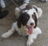 French Spaniel, 7 years old, white/liver