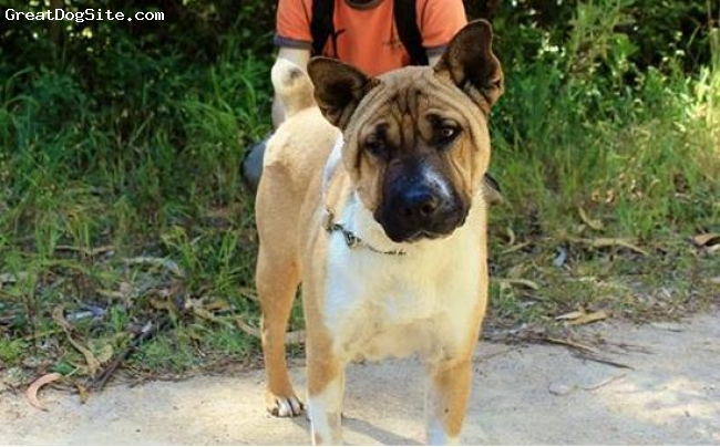 Frenchie-Pei, 3, brown, In a shelter and looking for a home..