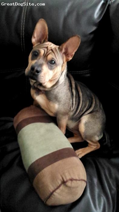 Frenchie-Pei, 1, Brown/tan, China at 6 months