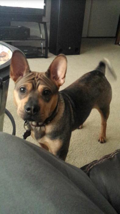 Frenchie-Pei, 1, Brown/tan, China at 10 months
