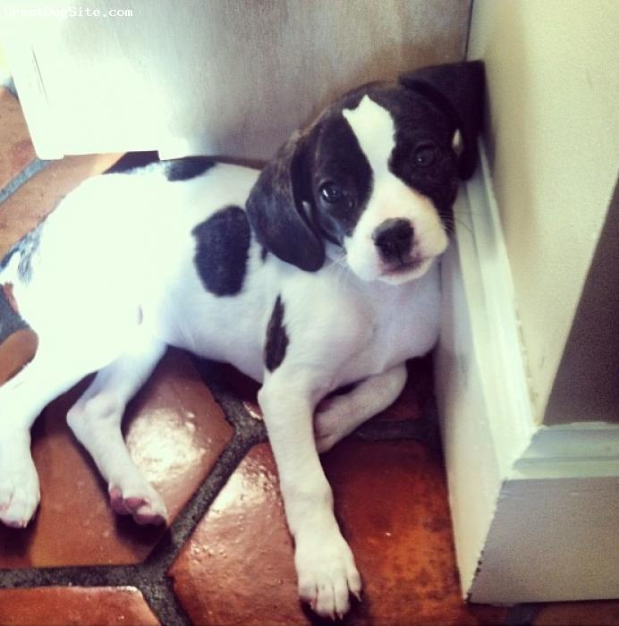 Frengle, 5 months, white and brindle, Frengle (Freagle)