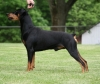 German Pinscher, 7 1/2 years, Black & Tan