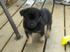 German Shepherd, 6 weeks, Black and Tan