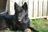 German Shepherd, 7 years old, black