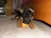 German Shepherd, 2months old, black/tan