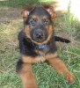 German Shepherd, Due August, Black and red