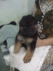 German Shepherd, 40 Days, Black Tan