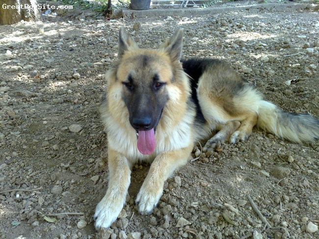 German Shepherd, 1 year, Black and beige, Medium to large dog, strong, playful, and well trained.