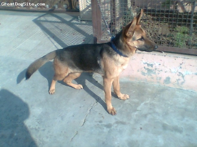 German Shepherd, 5 months, black and brown, the tail of this dog shows its purity...and