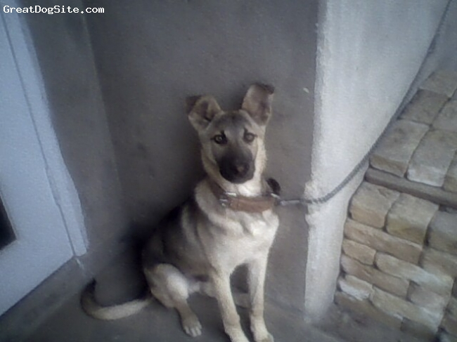 German Shepherd, 04 months, black and brown, He is a male alsation dog and in night he never sleep and gives full duty to my house.