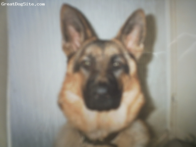 A photo of a 6mths old, black and tan, German Shepherd ...