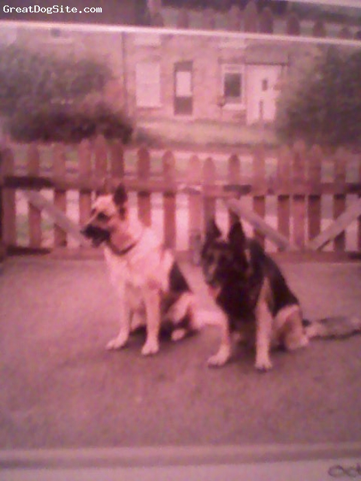 German Shepherd, 6mths, black and tan, brandy about 4/6ys 