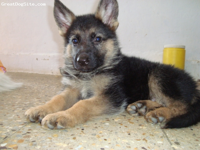 German Shepherd, 2 months, Black/Brown, My 2mnths old name Rocky(male)from Ahmedabad, Gujarat, INDIA.