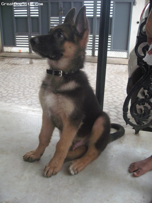 German Shepherd, 2 months 20 days, black and brown, CUTE BOY WITH GREAT TEMPERAMENT.FRIENDLY.