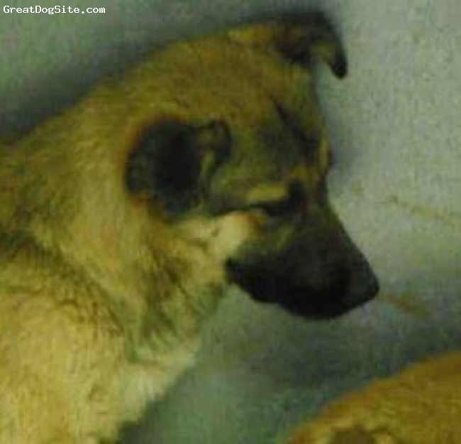 German Shepherd, Puppy, Black/Tan, One of the sweet pups confiscated from a BYB in San Bernardino, CA