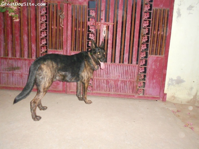 German Shepherd, 4 years, Black & gray, A very owner protective, aggressive and beautiful dog......heavy boned