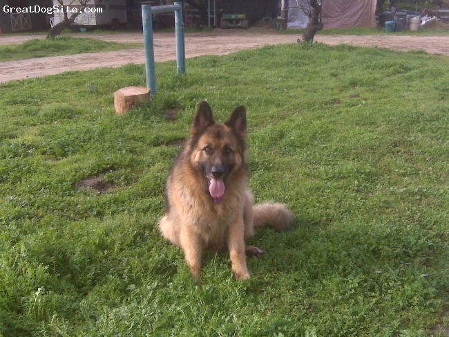 German Shepherd, 8 years old, Blk/Brn & Tan, Leo was a 140 lb. Longhair. Leo passed away 1 mo. ago today.He was with us almost 9 years.He was well known in the carmel/Monterey area,and will be sorely missed,but his spirit lives on.