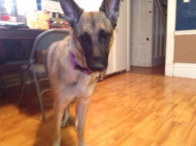 German Shepherd, 2, Tan, brown, black, Reka is a very healthy young German Shepard. She is very playful and catches almost anything.