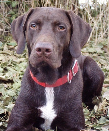 German Shorthaired Pointer Lab Mix