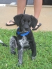 German Shorthaired Lab, 11 wks, black with spotted legs