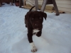 German Shorthaired Lab, 2 months, brown