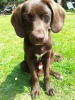 German Shorthaired Lab, 8 months (5mths in pic), Liver/choc