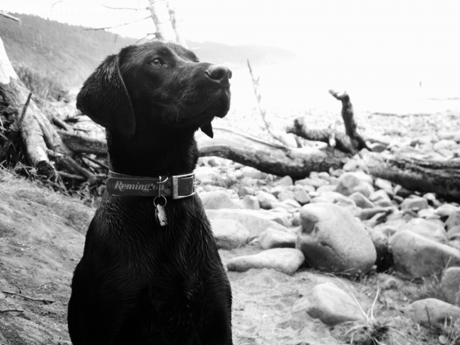 German Shorthaired Lab, 1 year, Black, German Shorthaired lab.  The perfect all around dog.  Eager to please, quick to learn, natural hunter, and loves to cuddle with the whole family