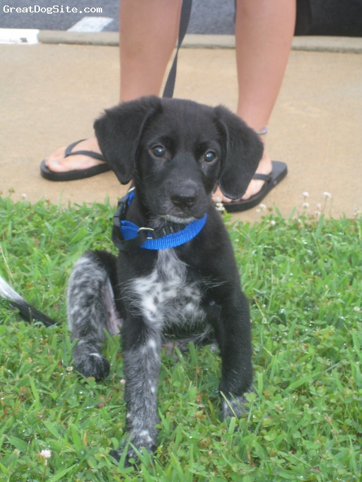 German Shorthaired Lab, 11 wks, black with spotted legs, we were told he is a aussie mix.  We think mostly german shorthaired mix with aussie shepard or/and lab. He is now 7months and weighs 50 lbs, and is big.