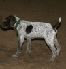 German Shorthaired Pointer, 13 Weeks, Liver & White