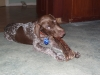 German Shorthaired Pointer, 3 months, liver and white