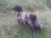 German Shorthaired Pointer, 3years+14 years, liver,white