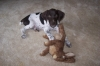 German Shorthaired Pointer, 8 weeks, liver and white