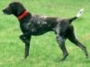 German Shorthaired Pointer, 6 years old, Liver and roan; patched and ticked