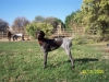 German Shorthaired Pointer, 1, Liver Roan