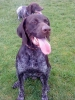German Shorthaired Pointer, 19 months, liver+white