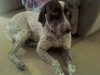 German Shorthaired Pointer, 2 YEAR OLD MALE, LIVER/TICKING