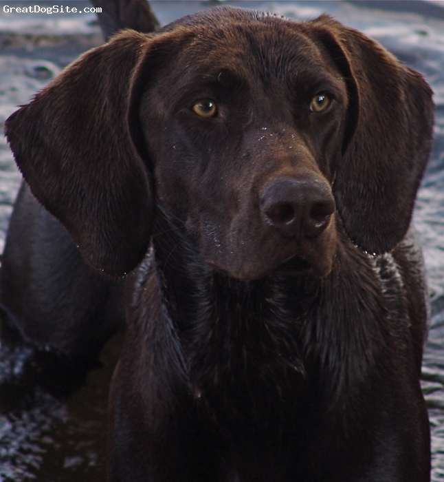 German Shorthaired Pointer, 14 months, Liver, Teal is a 14 month old liver German Shorthaired Pointer bred by Autumn Kennels in Newport, Maine