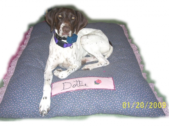 German Shorthaired Pointer, 1 year, Liver and White, Dottie is a great little dog with even a greater personality. She loves to run, run, and run some more. As you can see in the photo she has her own homemade bed...I guess you can say she is very spoiled.