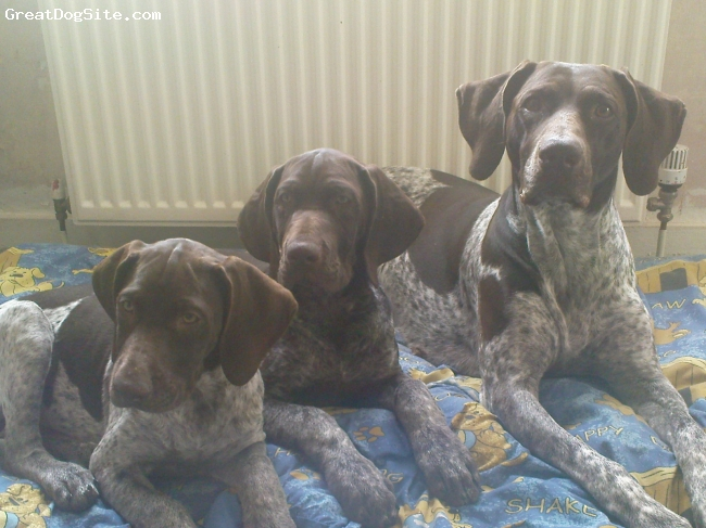German Shorthaired Pointer, 15 weeks mother and pups, liver,white, mum becker 4 years old great family pet now with her 2 playful pups bonny+clyde