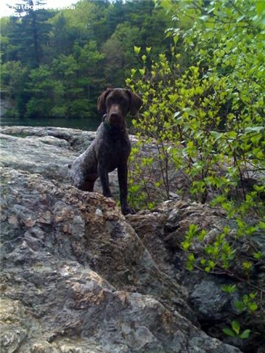 German Shorthaired Pointer, 6 1/2 Months, Liver & White Patched & Ticked, He's growing & maturing quite nicely... :)