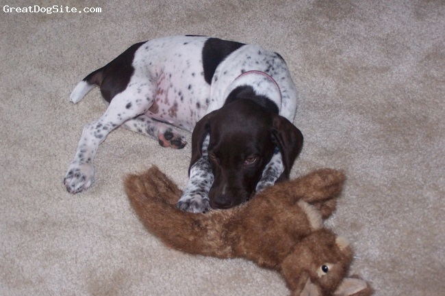 German Shorthaired Pointer, 8 weeks, liver and white, What a GREAT puppy !