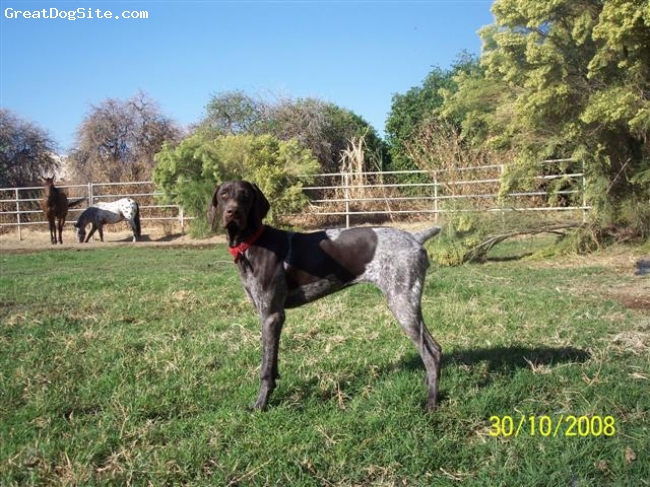 German Shorthaired Pointer, 1, Liver Roan, Lives on a 40 acre ranch. Hunts and swims daily and still jumps the fence! Very high energy! Do not invest in a GSP unless you live an active outdoors type lifestyle. Needs a companion!