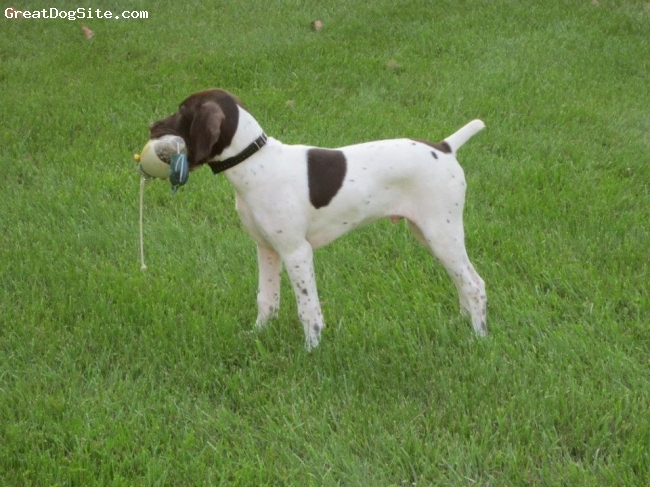 German Shorthaired Pointer, 6 months, White/liver, White and liver GSP