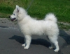 German Spitz, Grossspitz weiss, white