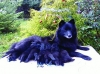 German Spitz, Grossspitz schwarz, Black