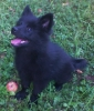German Spitz, 3 monts puppy - female, Black